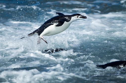Sub-Antarctic Islands「Chinstrap Penguins on Deception Island, Antarctica」:スマホ壁紙(15)