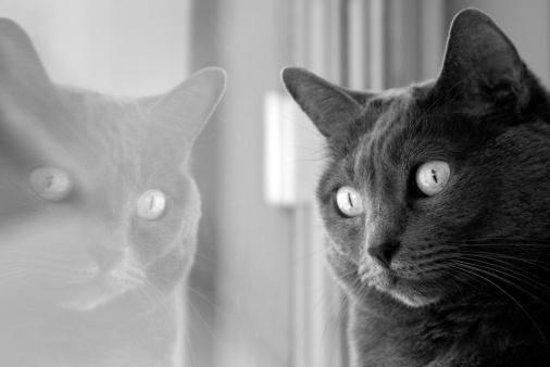 ビルマネコ「灰色のミャンマー猫の憧れを出る」:スマホ壁紙(2)