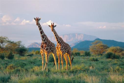 Giraffe「Kenya, reticulated giraffes in Buffalo Springs National Reserve」:スマホ壁紙(1)