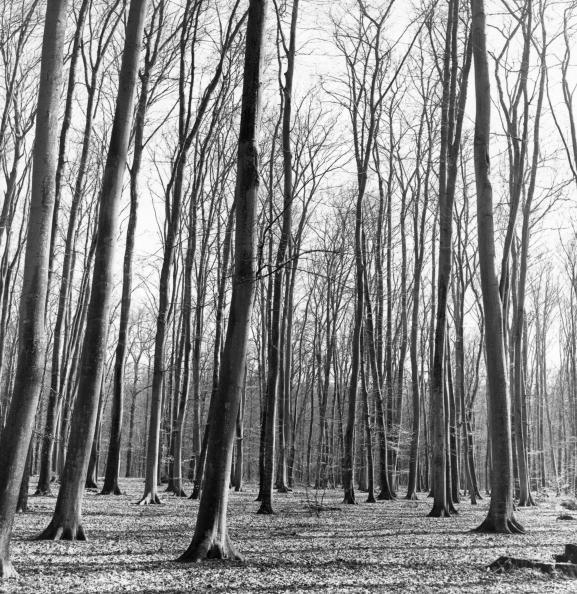 Beech Tree「Beech Trees In Wood」:写真・画像(0)[壁紙.com]