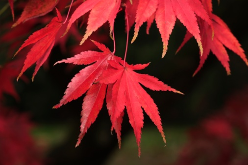 Japanese Maple「Red Acer Leaves」:スマホ壁紙(4)
