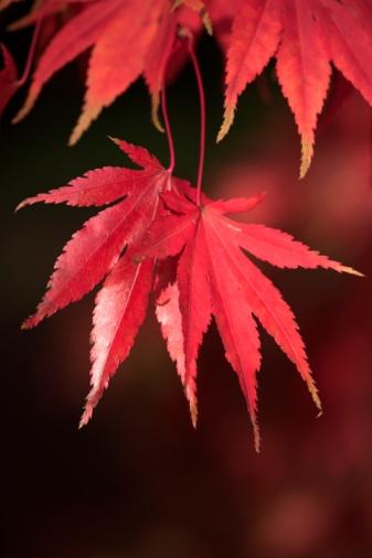 Japanese Maple「Red Acer Leaves」:スマホ壁紙(1)