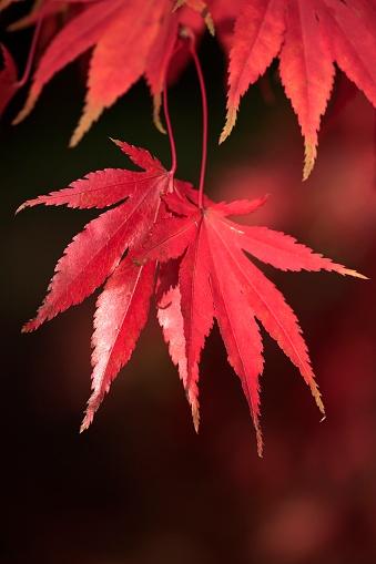 Japanese Maple「Red Acer Leaves」:スマホ壁紙(14)