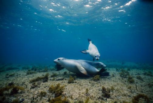 Shallow「Two Australian Sea Lions near sea floor / Australia」:スマホ壁紙(19)