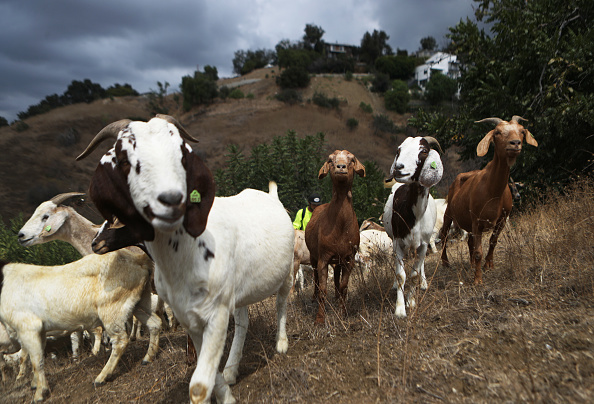 Goat「Herd Of Goats Graze On Weeds And Non-Native Plants To Reduce Wildfire Threat In Southern California」:写真・画像(11)[壁紙.com]