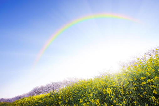 虹「Rainbow Over Oilseed Rape Field」:スマホ壁紙(11)