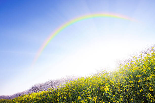 Rainbow Over Oilseed Rape Field:スマホ壁紙(壁紙.com)