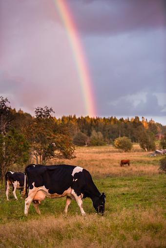 Dairy Cattle「Rainbow over cows grazing in field」:スマホ壁紙(12)
