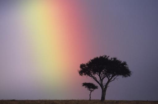 虹「Rainbow over acacia tree on savannah, Masai Mara National Reserve, Kenya」:スマホ壁紙(19)