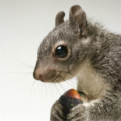 Squirrel「Squirrel holding acorn in his paws」:スマホ壁紙(5)