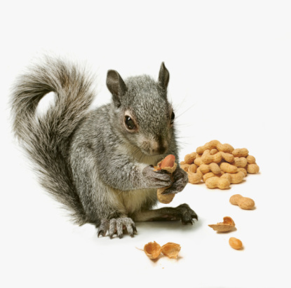 Squirrel「Squirrel  holding peanut with pile of peanuts in b」:スマホ壁紙(11)