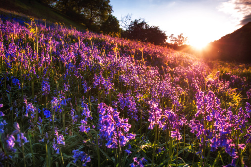East Lothian「UK, Scotland, View of bluebells at sunrise」:スマホ壁紙(11)