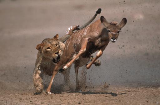 Lioness - Feline「Lioness attacking and killing kudu. Etosha National Park. Namibia.」:スマホ壁紙(8)