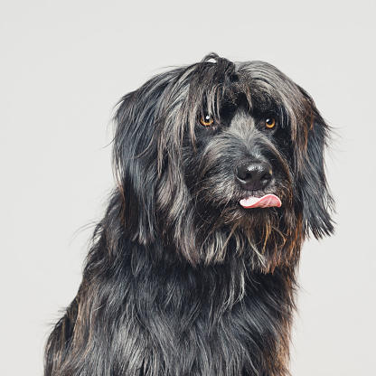 Attending「Sheepdog studio portrait with human expression sticking out the tongue」:スマホ壁紙(11)