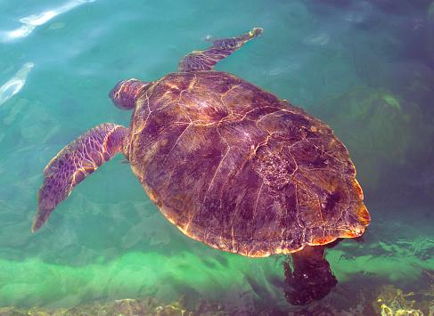 ケイマン諸島「Hawksbill Sea Turtle Eretmochelys imbricata, Cayman Islands」:スマホ壁紙(12)