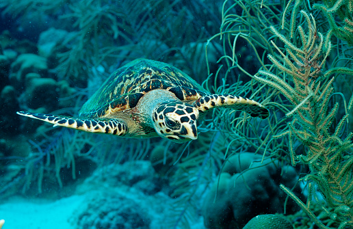 French Overseas Territory「Hawksbill sea turtle, Eretmochelys imbricata, Martinique, French West Indies, Caribbean Sea」:スマホ壁紙(6)