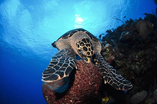 ケイマン諸島「Hawksbill sea turtle eating, Castle Wall, Grand Cayman.」:スマホ壁紙(15)