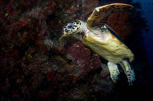 Green Turtle「Hawksbill sea turtle in the waters of Sipadan, Malaysia.」:スマホ壁紙(10)