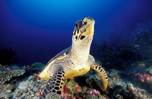 モルディブ「Hawksbill sea turtle, South Ari Atoll, Maldives.」:スマホ壁紙(19)