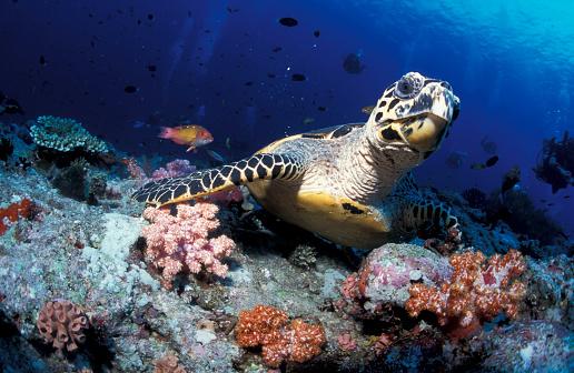 モルディブ「Hawksbill sea turtle, South Ari Atoll, Maldives.」:スマホ壁紙(10)