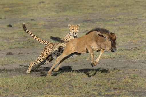 Animals Hunting「Cheetah」:スマホ壁紙(4)