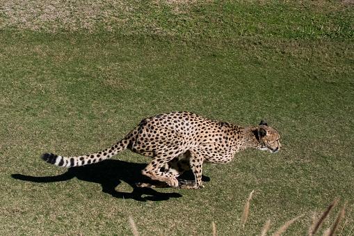 African Cheetah「Cheetah」:スマホ壁紙(5)