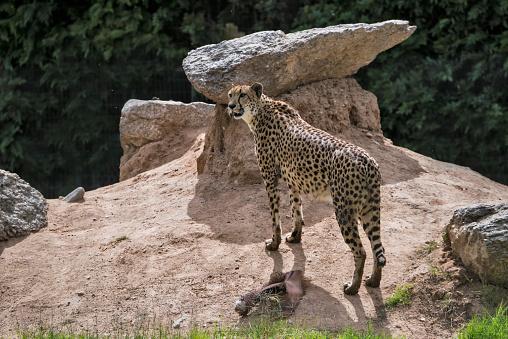 African Cheetah「Cheetah」:スマホ壁紙(13)
