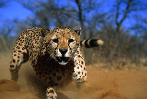 Pouncing「Cheetah」:スマホ壁紙(8)