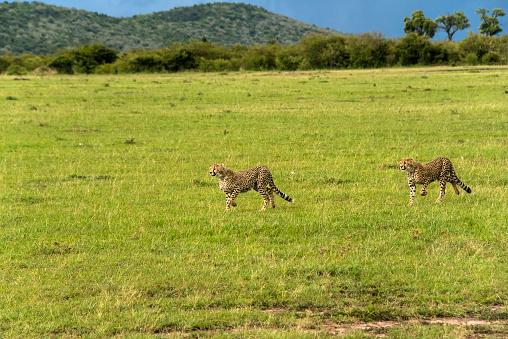 African Cheetah「Cheetah」:スマホ壁紙(15)