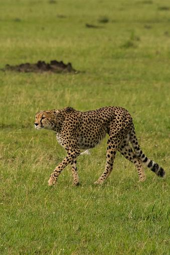 African Cheetah「Cheetah」:スマホ壁紙(16)