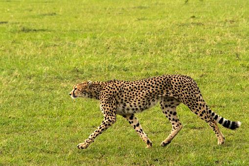 African Cheetah「Cheetah」:スマホ壁紙(11)