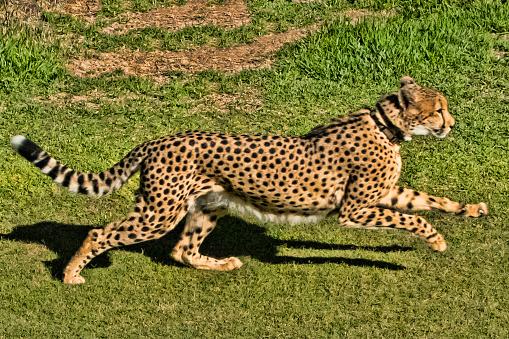 African Cheetah「Cheetah」:スマホ壁紙(17)