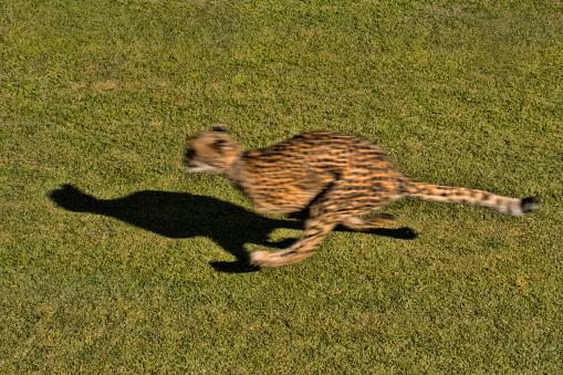 African Cheetah「Cheetah」:スマホ壁紙(18)