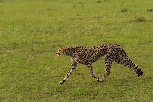 African Cheetah「Cheetah」:スマホ壁紙(14)