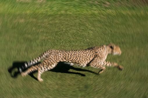 African Cheetah「Cheetah」:スマホ壁紙(10)