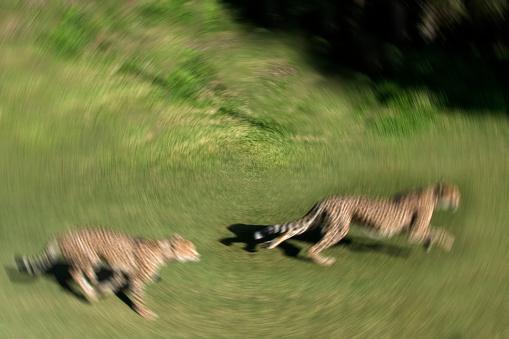African Cheetah「Cheetah」:スマホ壁紙(0)