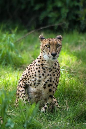 African Cheetah「Cheetah」:スマホ壁紙(7)
