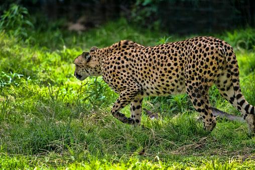 African Cheetah「Cheetah」:スマホ壁紙(9)