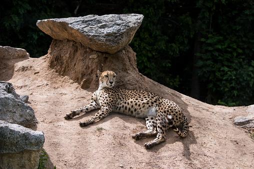 African Cheetah「Cheetah」:スマホ壁紙(12)