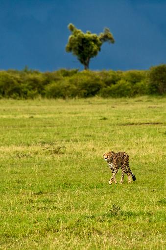 African Cheetah「Cheetah」:スマホ壁紙(19)