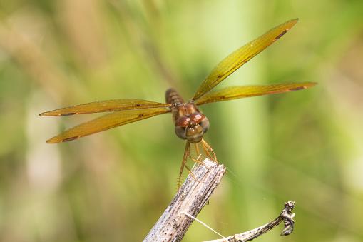 とんぼ「Eastern Amberwing Dragonfly (Perithemis tenera) male on branch, Marion County, Illinois, USA」:スマホ壁紙(12)