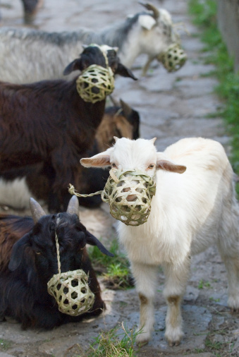 Himalayas「Goats wearing muzzles」:スマホ壁紙(19)