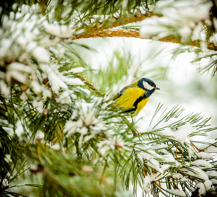Needle - Plant Part「Chickadee (Parus major) sitting on a branch of pine tree covered with fresh snow」:スマホ壁紙(18)
