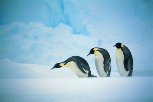 Emperor Penguin「Three emperor penguins (Aptenodytes forsteri) in line, Antarctica」:スマホ壁紙(16)