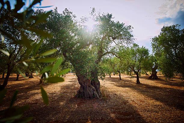 Italy, Apulia, Olive trees in back light:スマホ壁紙(壁紙.com)