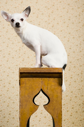 Chihuahua - Dog「Chihuahua on a bench」:スマホ壁紙(19)