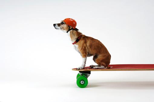 Skating「Chihuahua on a Skateboard」:スマホ壁紙(19)