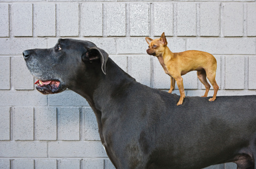 Large「Chihuahua on Great Dane's back」:スマホ壁紙(16)