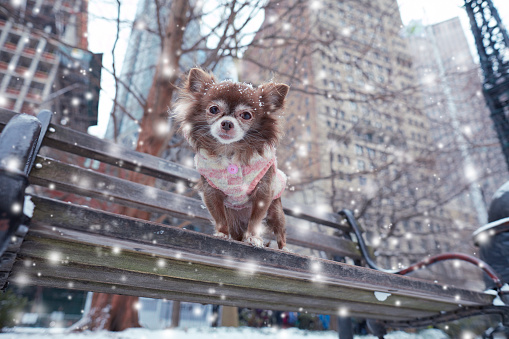 Sweater「Chihuahua on a bench with snow falling with city view behind」:スマホ壁紙(10)