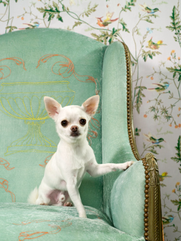 Floral Pattern「Chihuahua on chair with wallpaper」:スマホ壁紙(9)